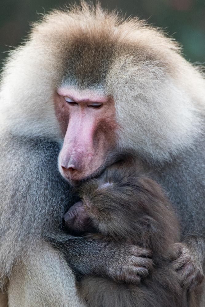 Mantelbavianen - Hamadryas baboons
