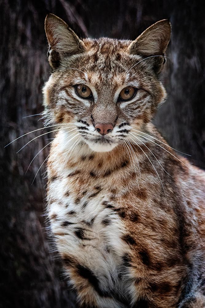 Rode lynx - Bobcat (Allwetterzoo Münster)