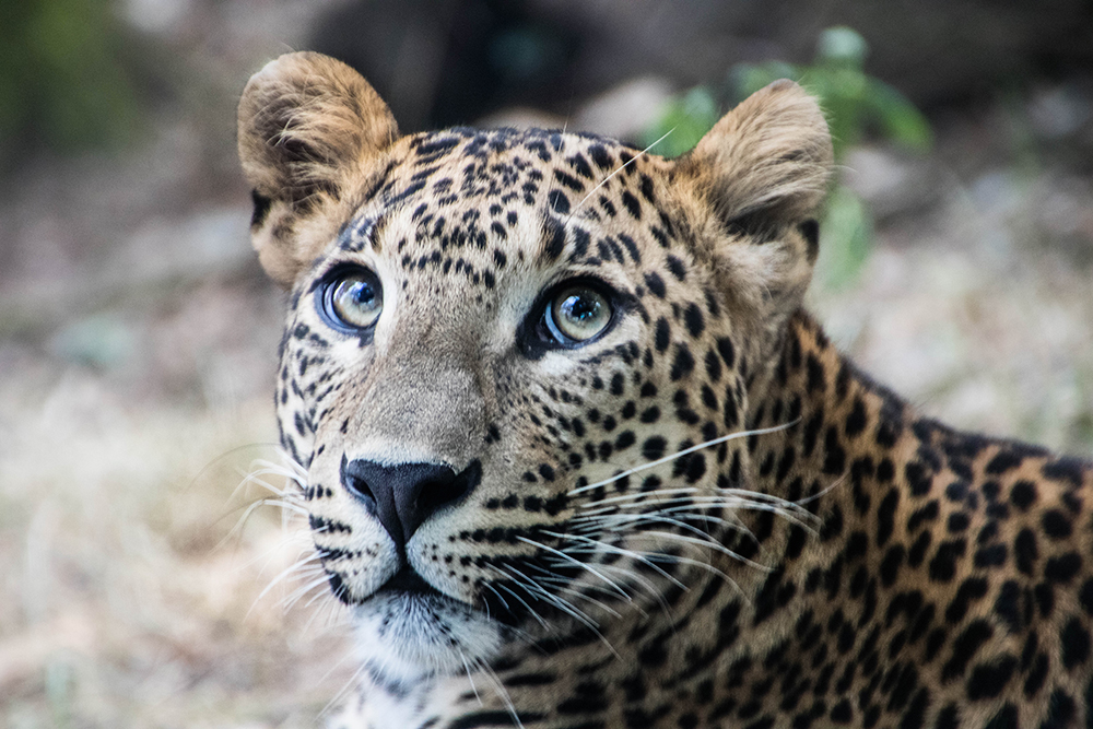 Sri Lanka panter - Sri Lankan leopard (Buregers Zoo)