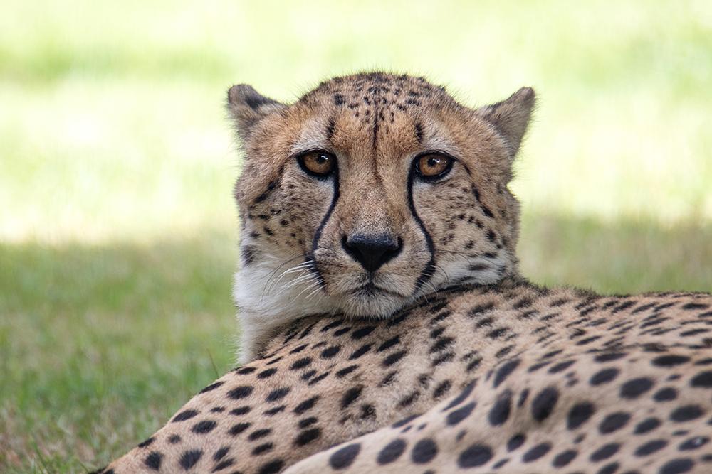Jachtluipaard - Cheetah (Allwetterzoo Münster)
