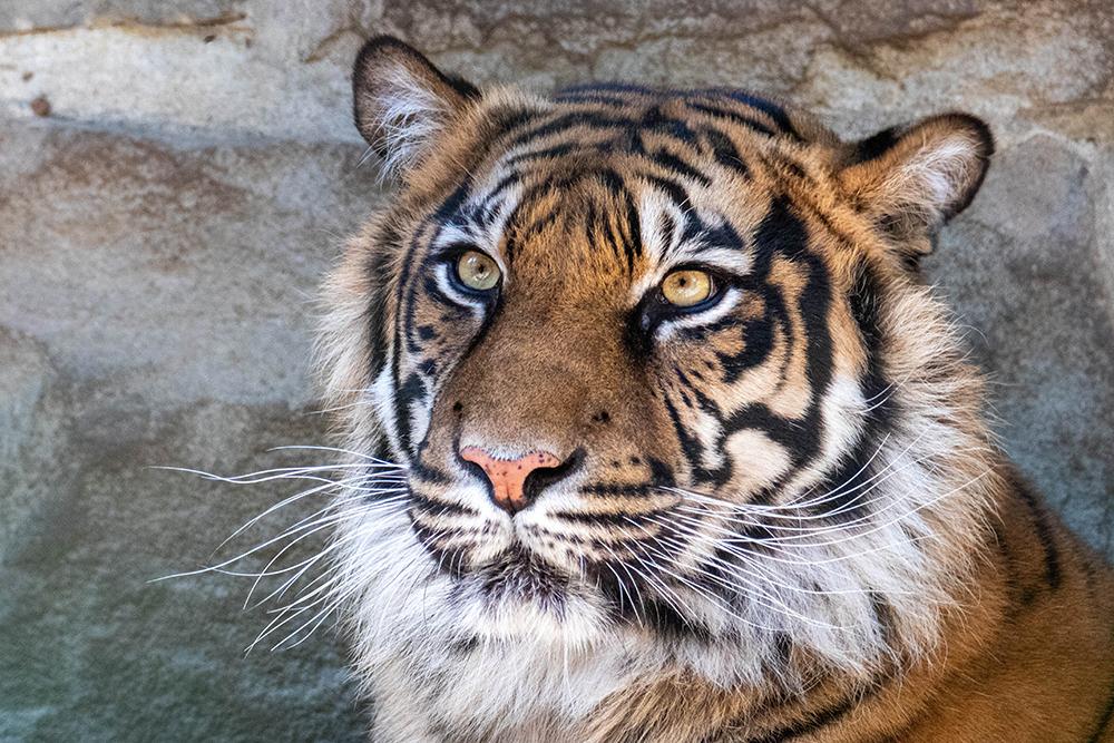 Sumatraanse tijgers - Sumatran tigers (Naturzoo Rheine)