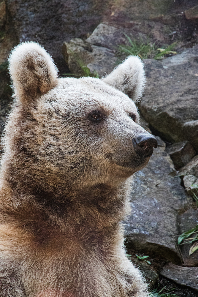 Syrische bruine beer - Syrian brown bear (Allwetter Zoo 2018)