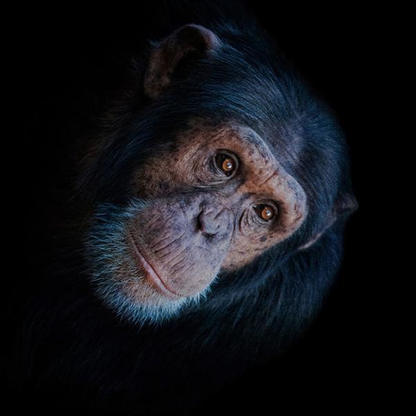 Amazing chimps