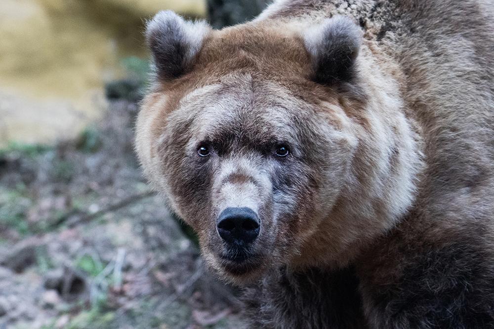 Bruin beer - Brown bear (Dierenpark Amersfoort 2020)