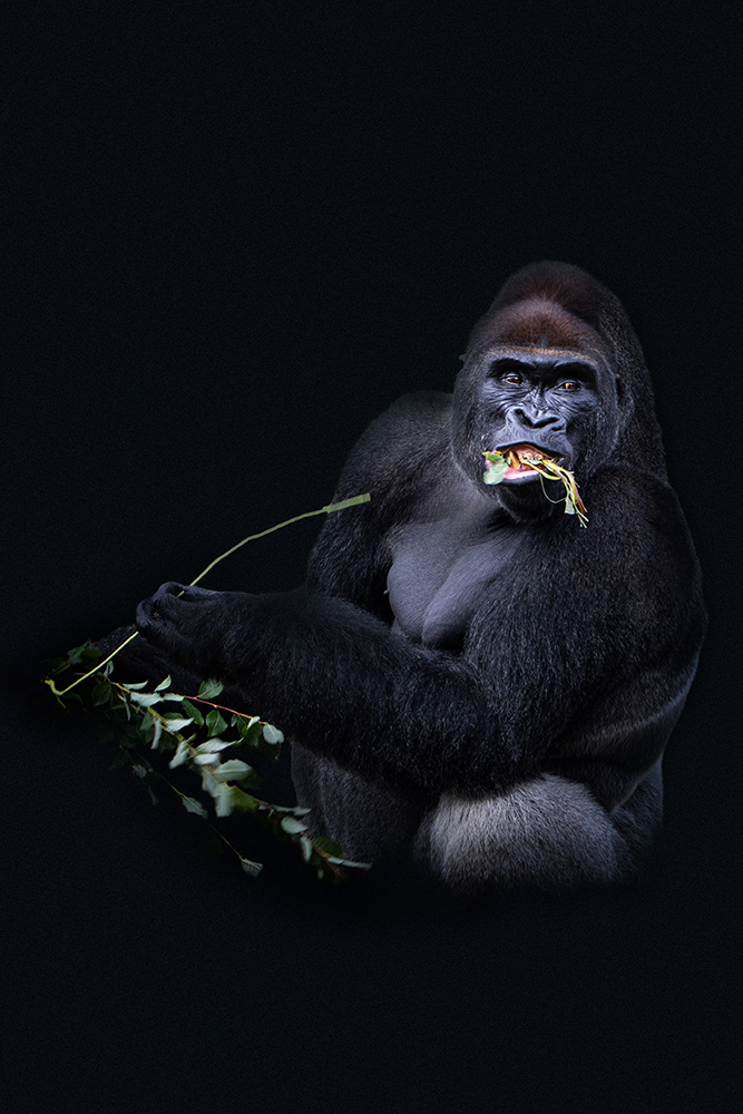 Gorilla (Beekse bergen 2020)