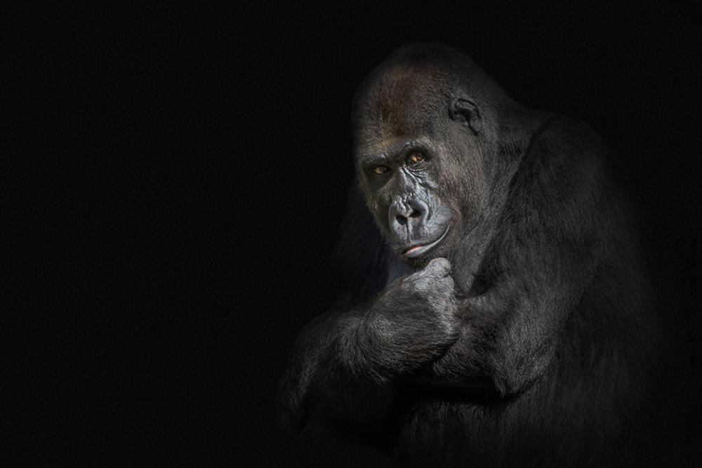 Gorilla (Apenheul 2014)
