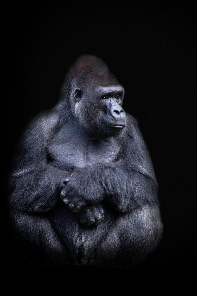 Jambo, Gorilla (Apenheul 2014)