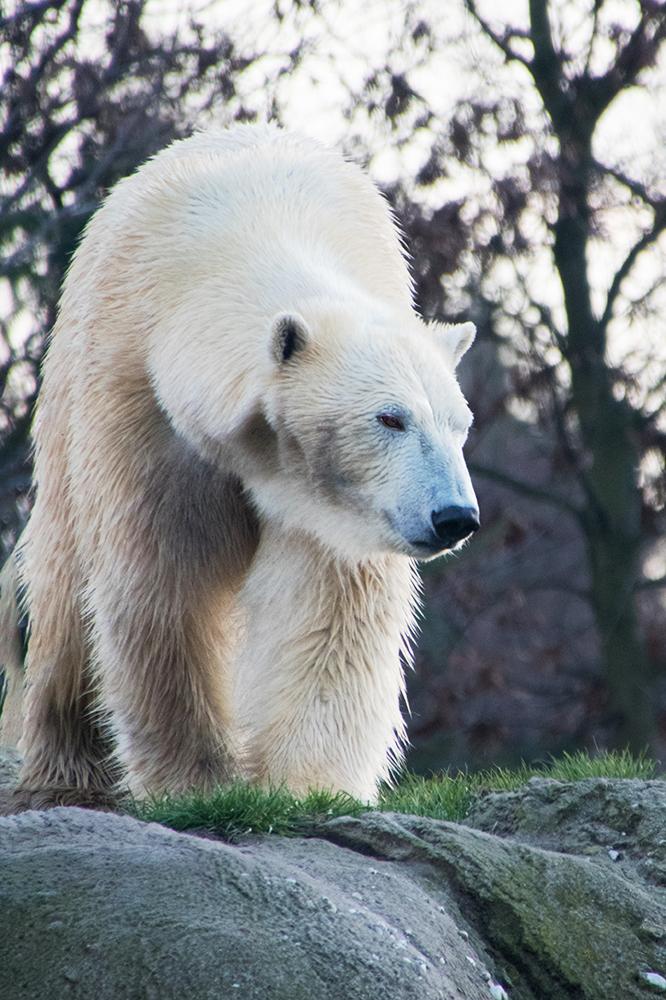IJsbeer - Polar bear (Blijdorp 2018)