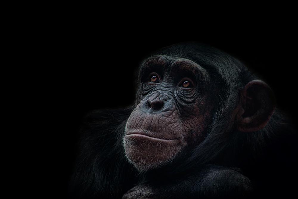 Chimpansee - Chimpanzee - ZOOMerlebniswelt Gelsenkirchen