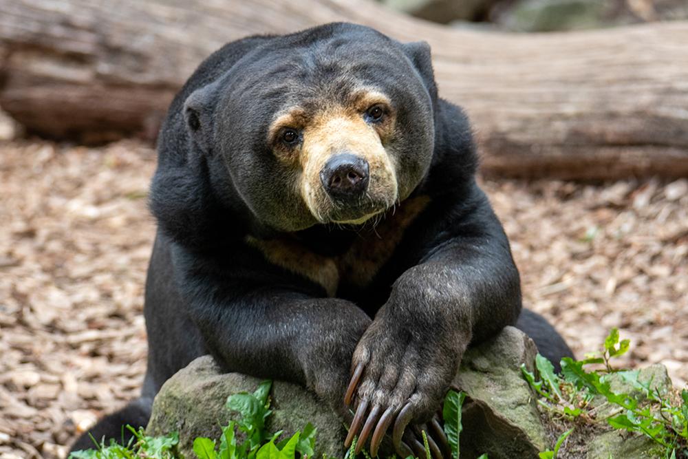 Honingbeer - Sun bear (Allwetter Zoo 2020)