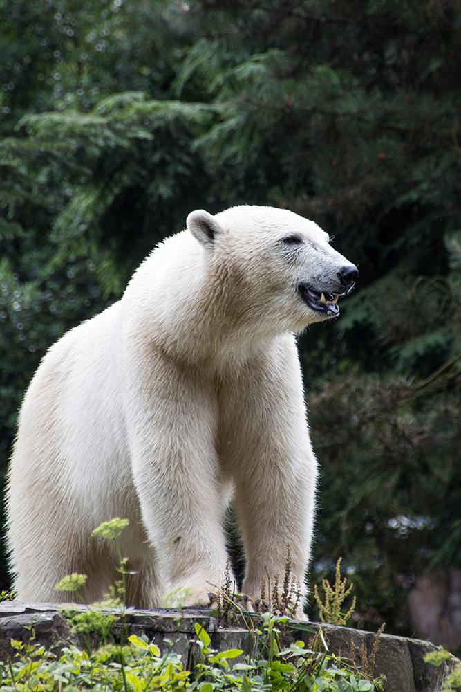 IJsbeer - Polar bear (Noorderdierenpark 2015)