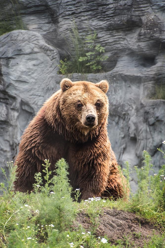 Kamchatkabeer - Kamchatka brown bear (Zoomerlebniswelt 2016)