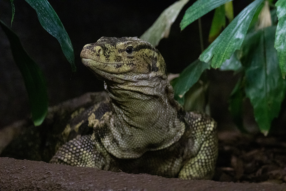 Watervaraan - Asian water monitor (Burgers Zoo)