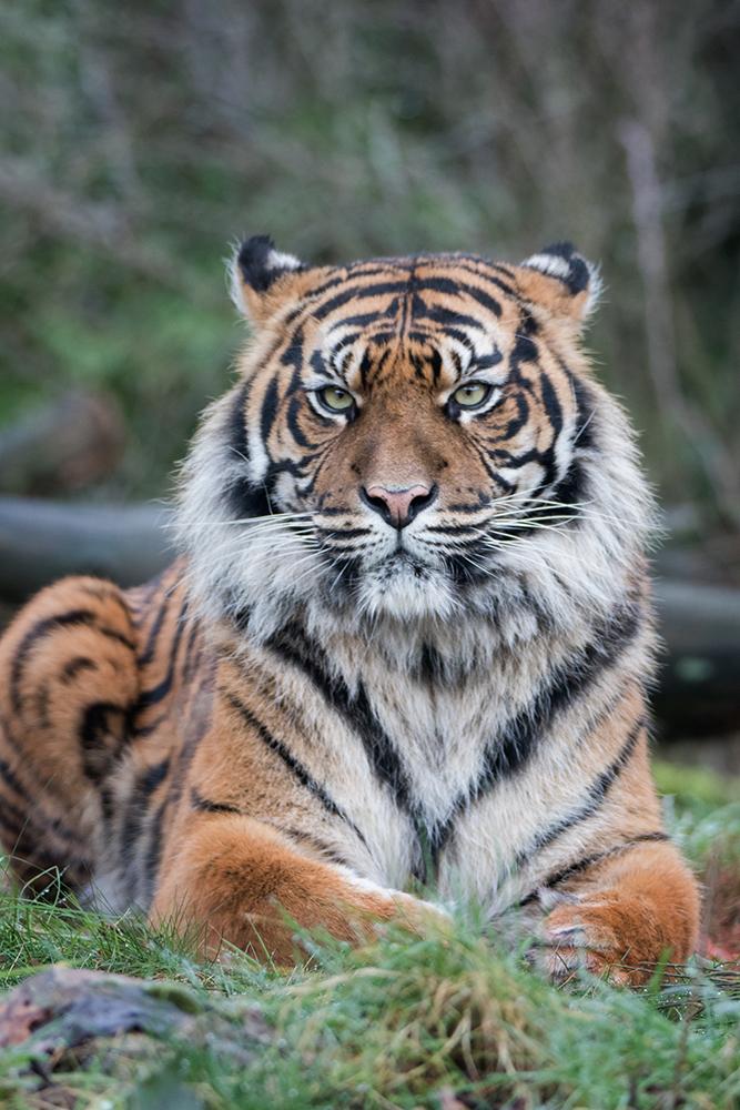 Sumatraanse tijgers - Sumatran tigers (Burgers Zoo)