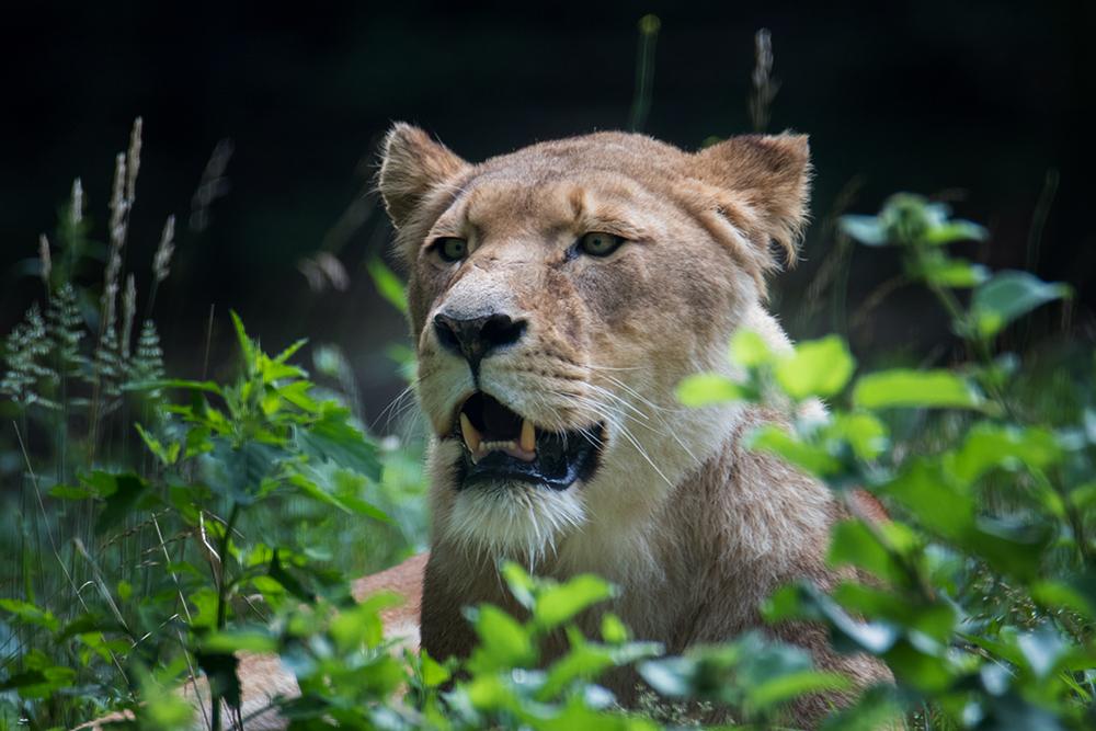 Leeuw - Lion (Burgers Zoo)