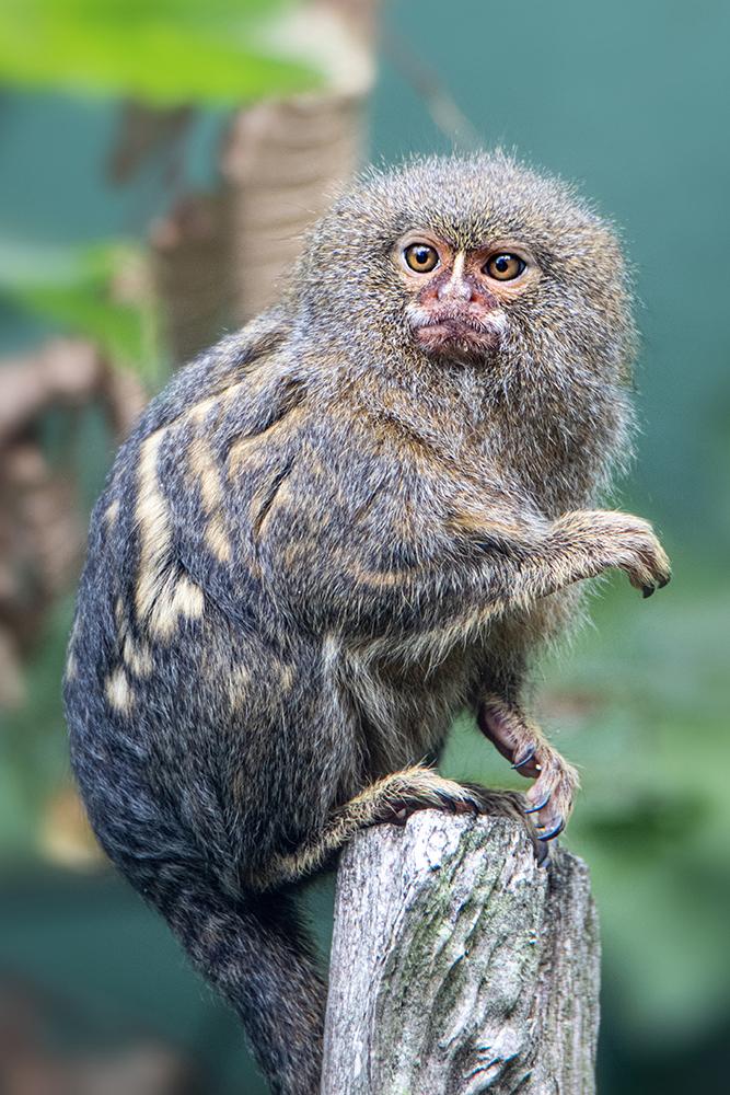Dwergoeistiti - Pygmy marmoset (Allwetter Zoo)