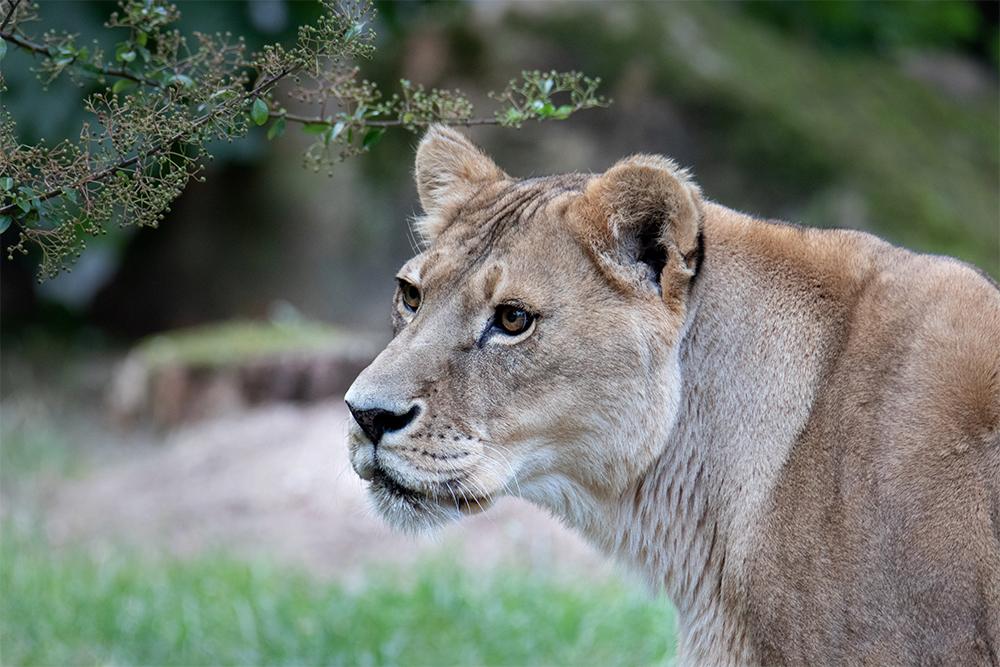 Leeuw - Lion (Allwetter Zoo)