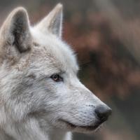 Hudson-Bay-Wolf (Artis)