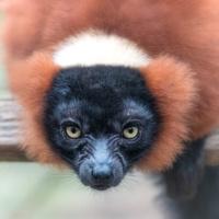Rode vari - Red ruffed lemur (Artis)