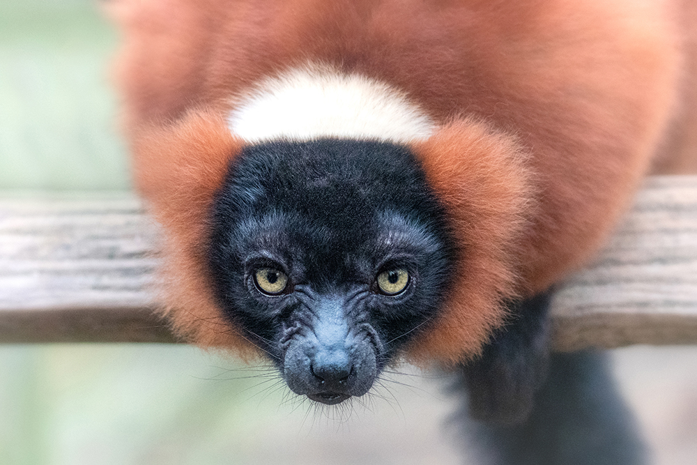 Rode vari - Red ruffed lemur (Artis)