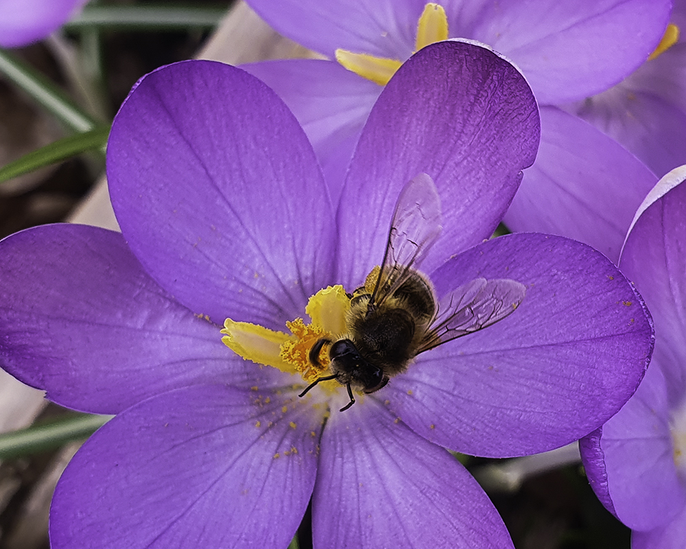 Crocus and bee - smartphone