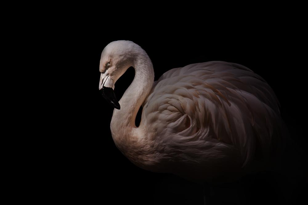 Flamingo (Allwetter Zoo 2018)