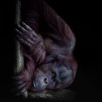 Orang oetan - Orangutan (Apenheul 2014)