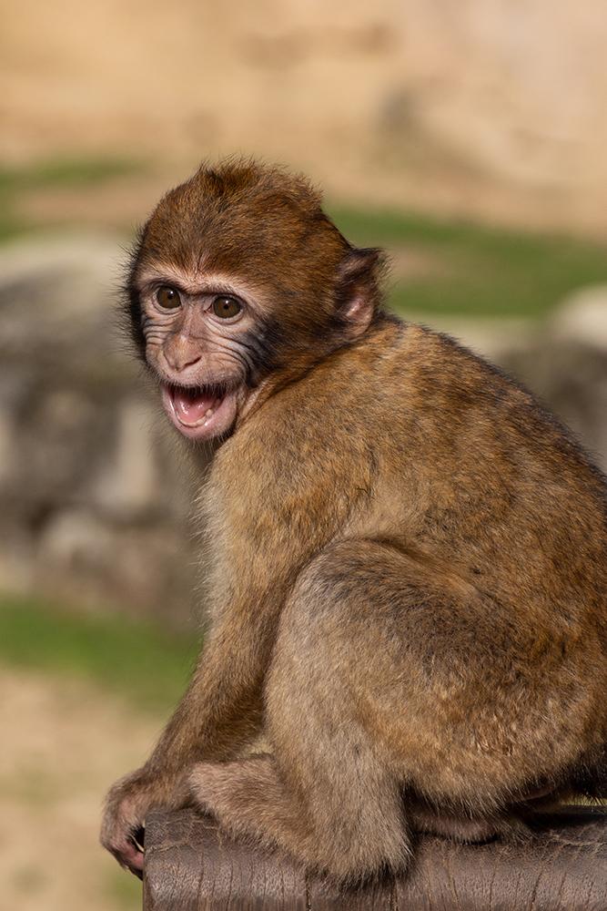 Berberaap baby - Barbary macaque (Apenheul 2017)