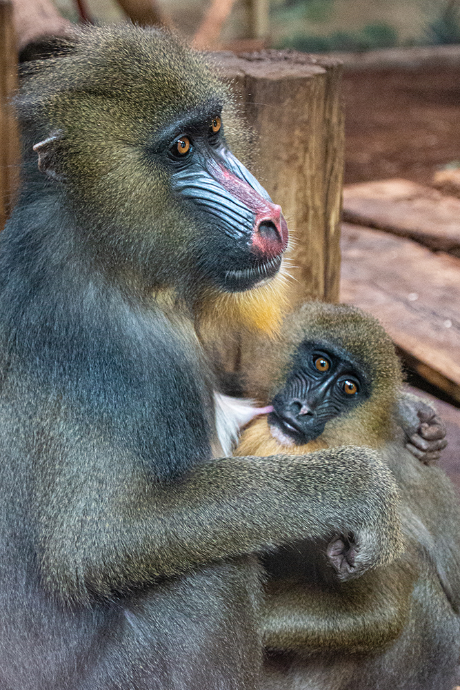Mandrill baby (Ouwehands dierenpark 2016)