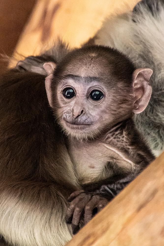 Hanuman langoer - Gray langur (Apenheul 2016)