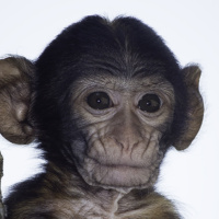 Berberaap baby - Barbary macaque (Apenheul 2014)