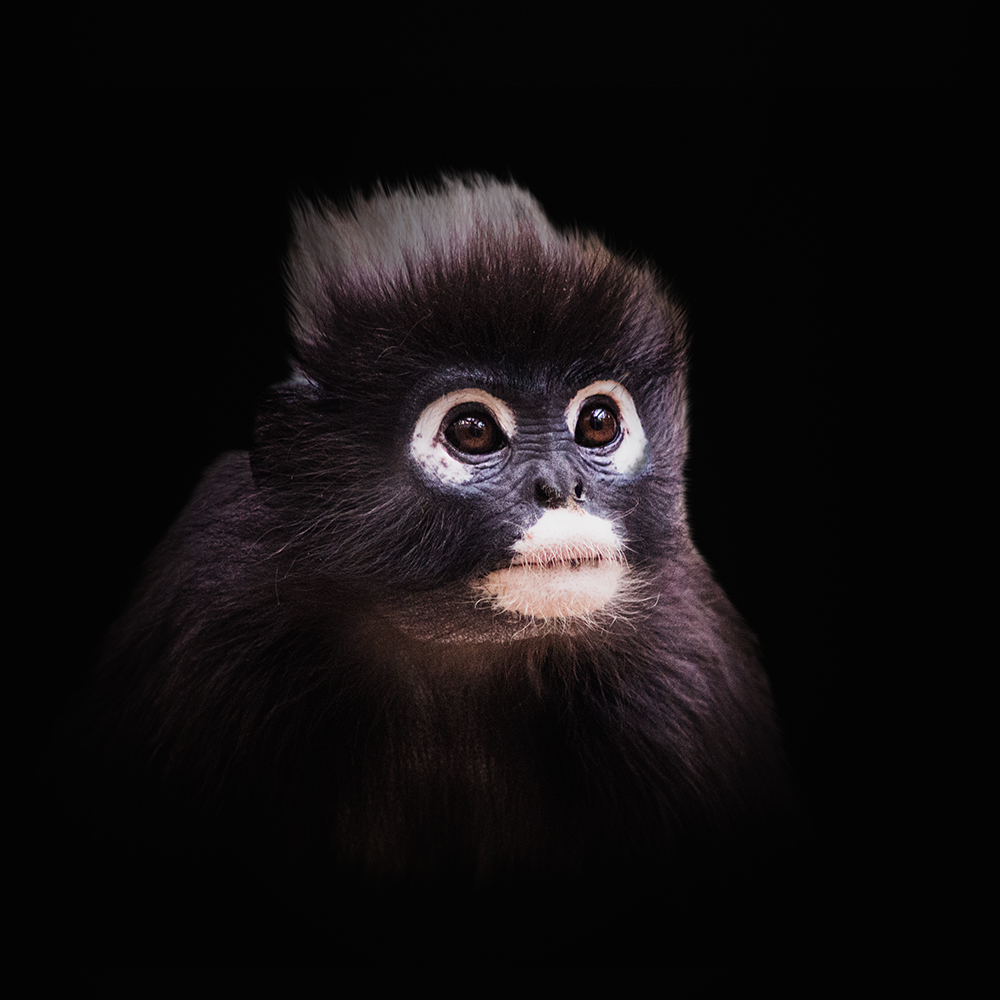 Brillangoer - Dusky leaf monkey (Burgers Zoo 2014)