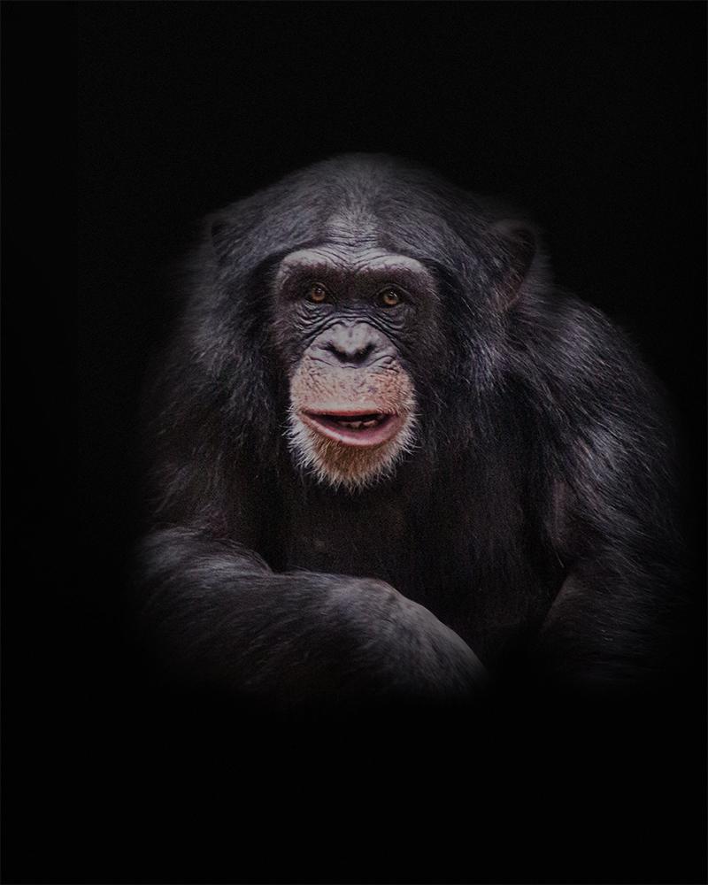 Chimpansee - Chimpanzee (Burgers Zoo 2014)