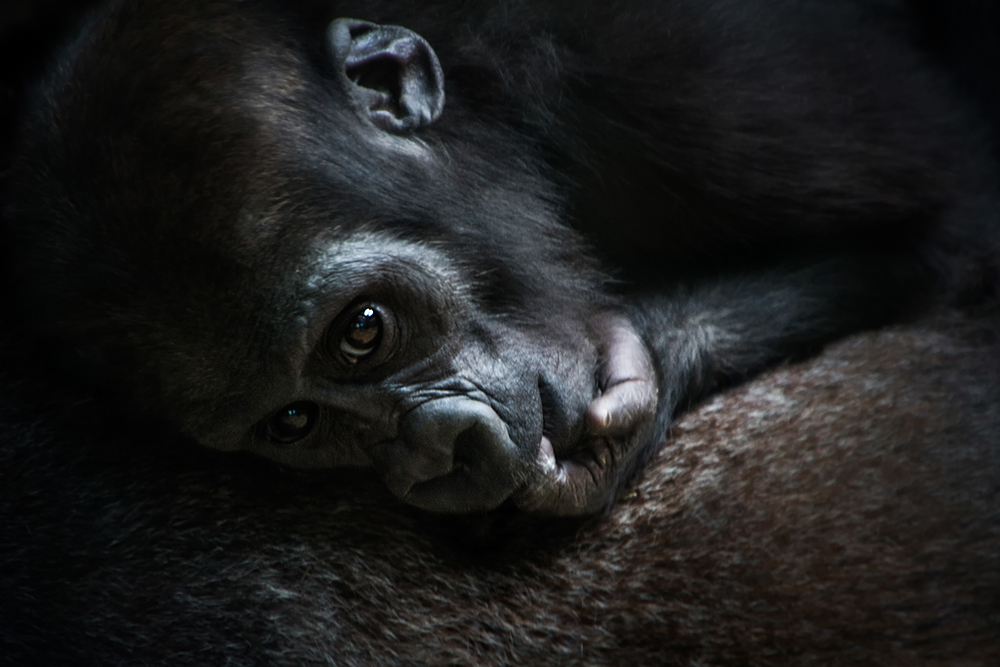 Gorilla baby (Artis 2017)