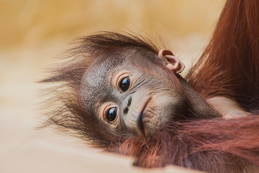 Orang-oetan baby - Orangutan baby (Ouwehands Dierenpark 2016) 2020)