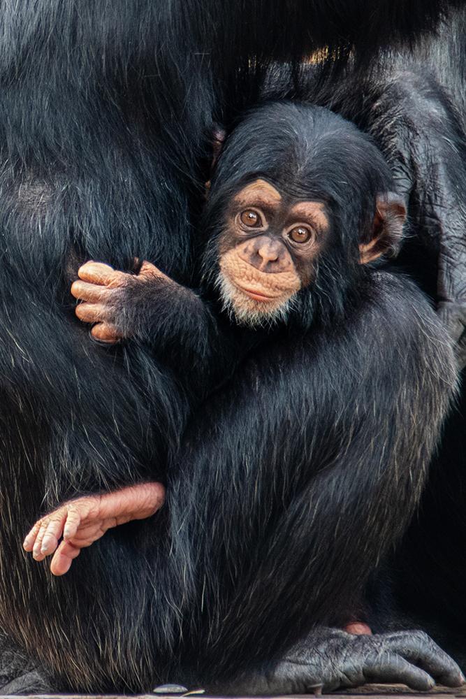 Chimpansee baby - Chimpanzee baby (Beekse Bergen 2020)