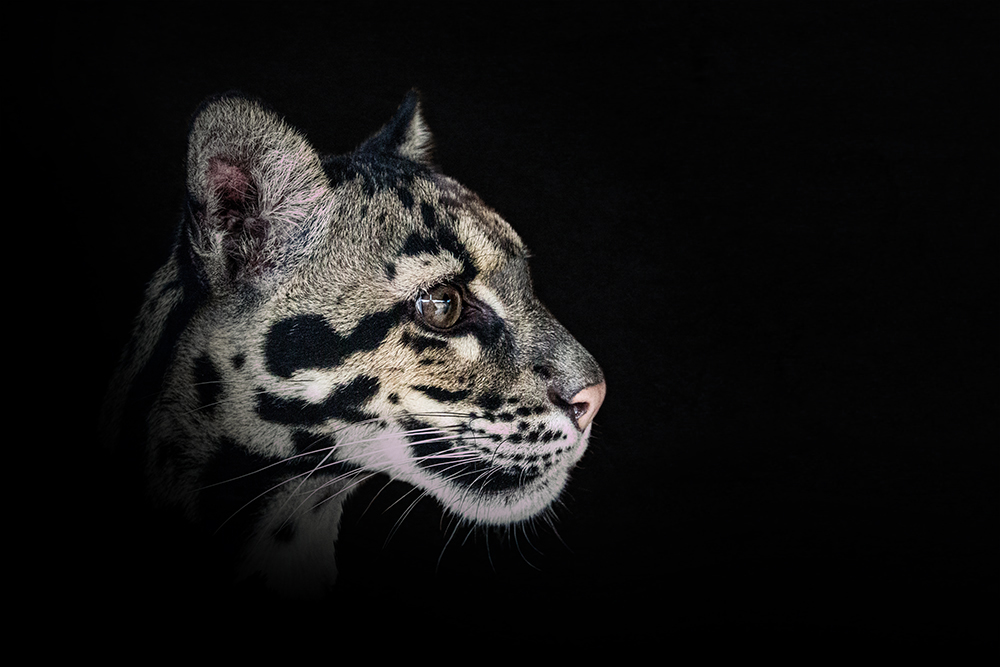 Nevelpanter - Clouded leopard (Ouwehands Dierenpark 2016)