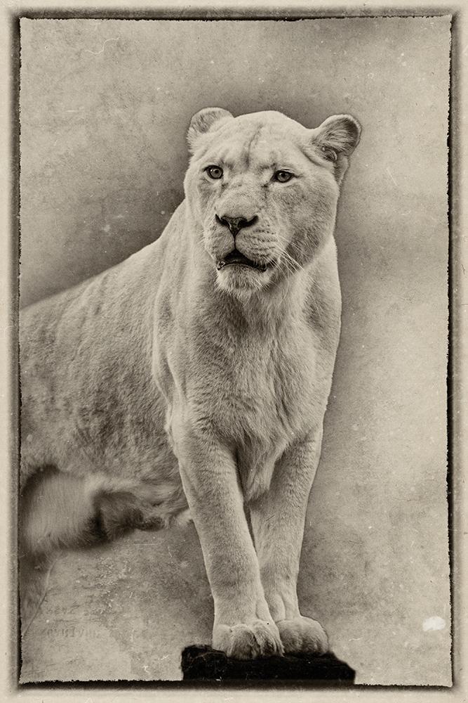 Witte leeuw - White lion