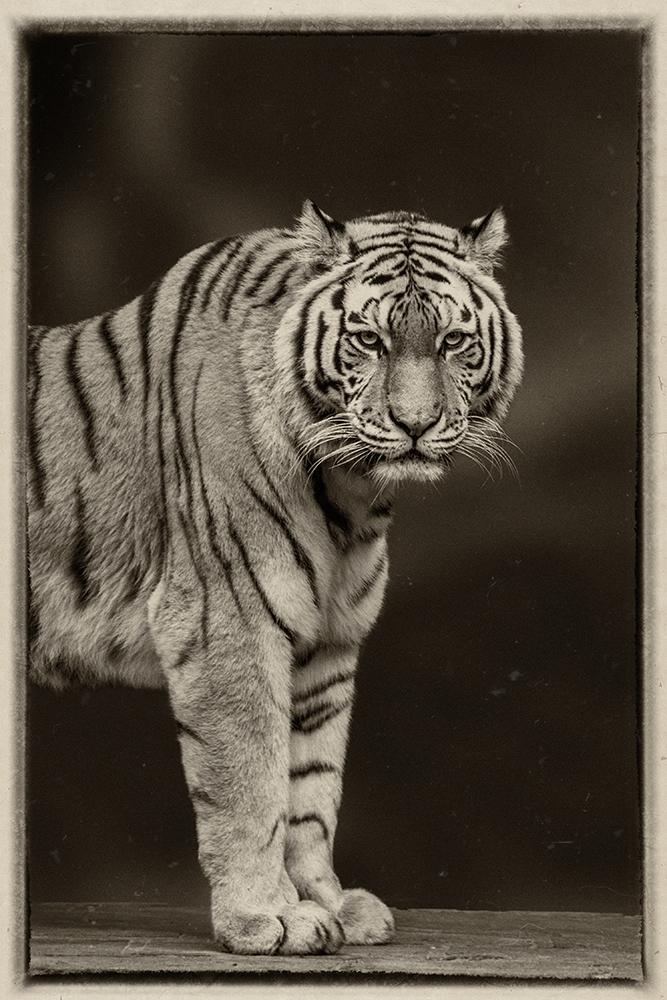 Siberische tijger - Siberian Tiger