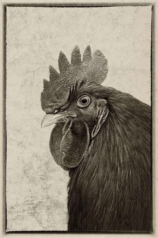 Haan - Rooster
