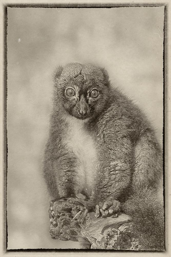 Alaotra bamboemaki - Lac Alaotra bamboo lemur