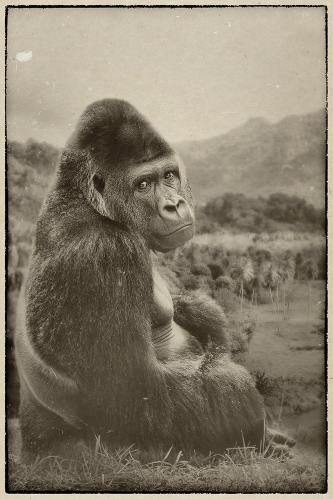 Bauwi, gorilla