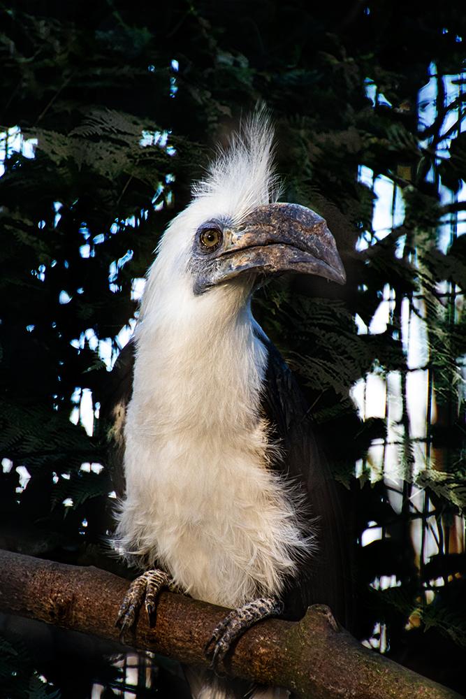 Langkuifneushoornvogel - White-crowned Hornbill