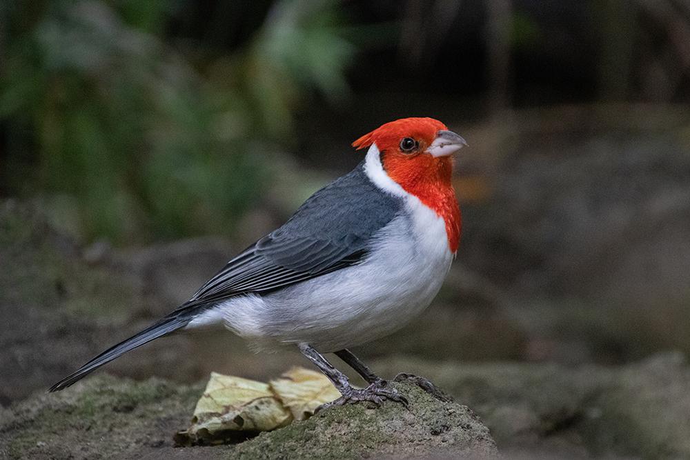 Roodkuifkardinaal - Red-cowled cardinal