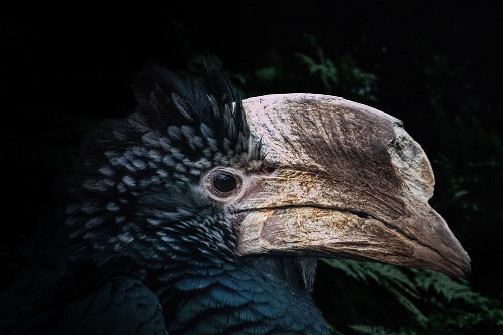 Zilverwangneushoornvogel - Silvery cheeked hornbill