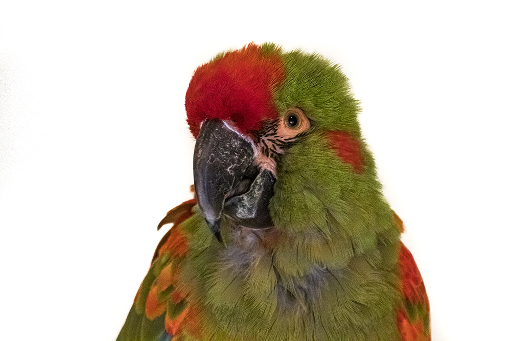 Roodoor ara - Red-fronted macaw