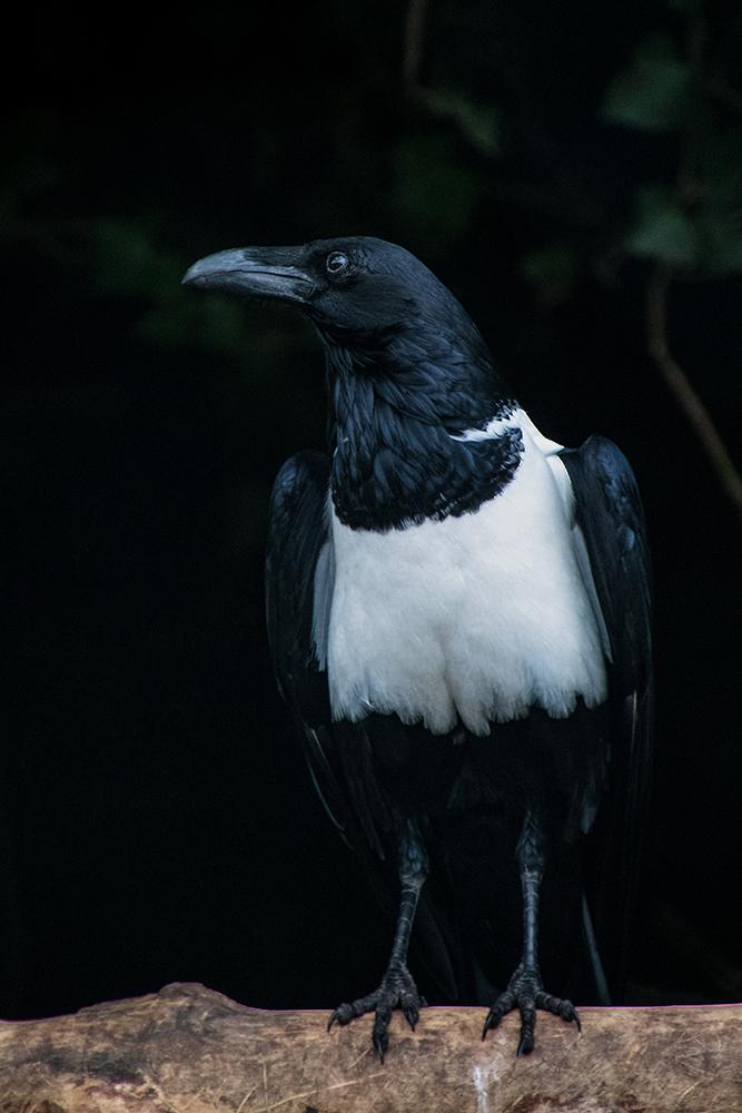 Schildraaf - Pied crow