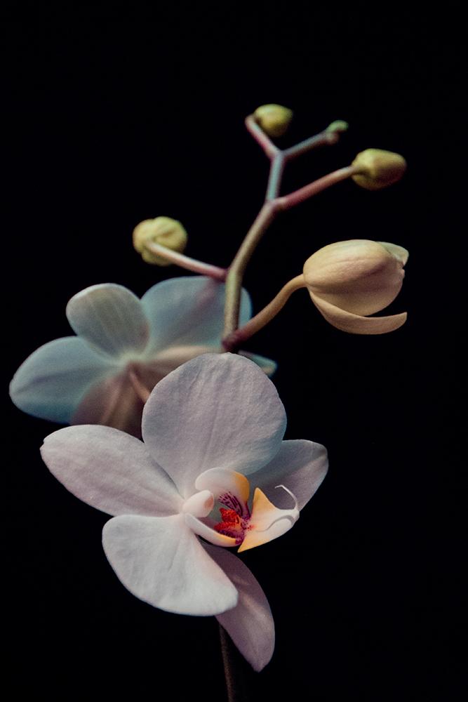 Orchidee - Phalaenopsis - Moth orchids