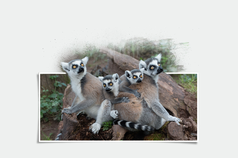 Ringstaartmaki – Ring-tailed lemur (Apenheul 2017)