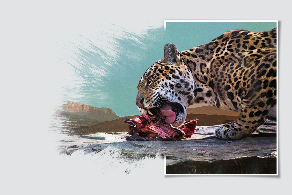 Jaguar (Artis 2017)